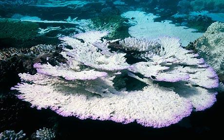 Coral reefs reported suffer mass bleaching throughout south east Asia, the Indian Ocean and the Pacific