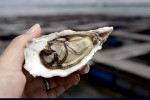 Japan scientists study oyster 'language'