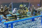 Scientists develop novel ways to revive coral reefs