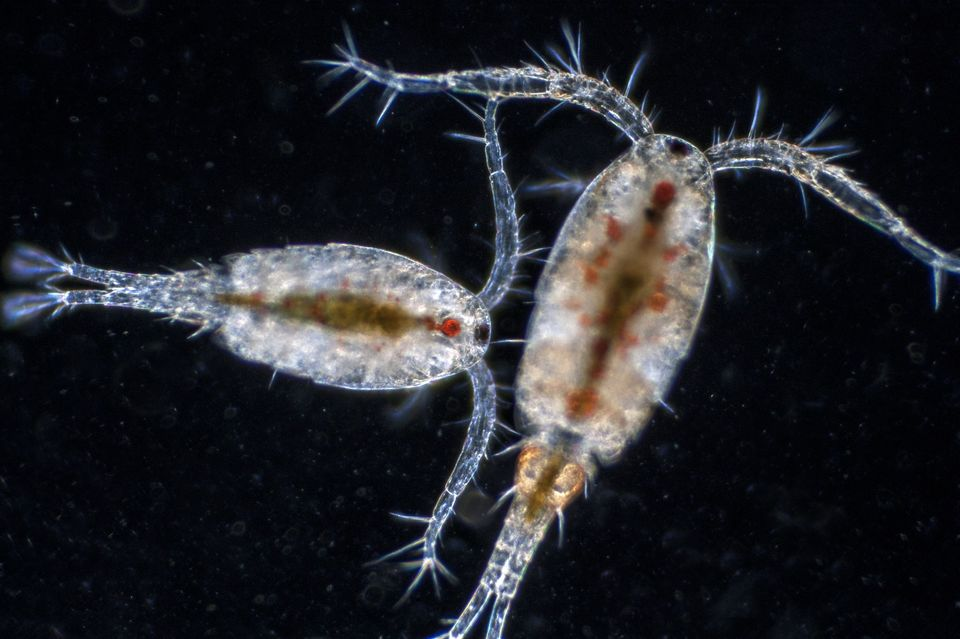 copepods and amphipods