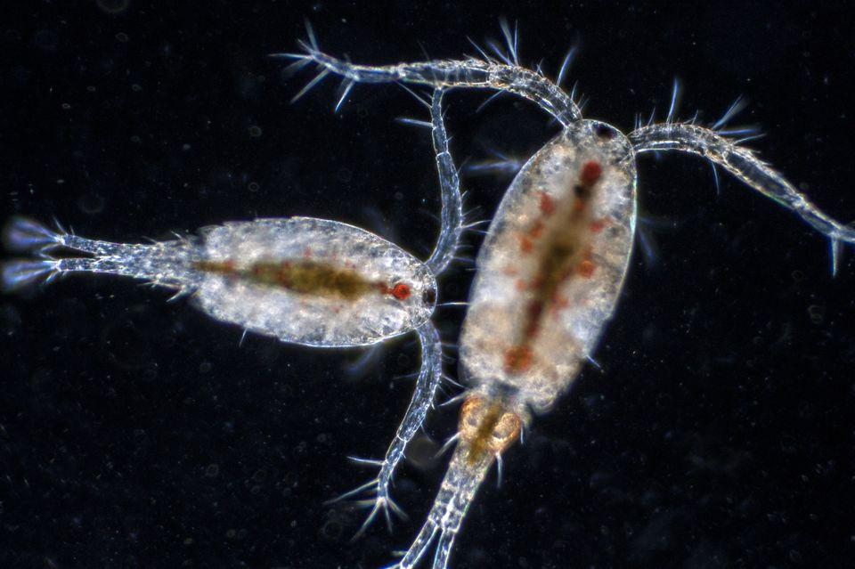 Skimz copepods